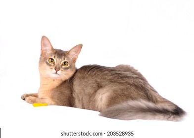Pretty somali cat blue color lying on white sofa and looking at camera