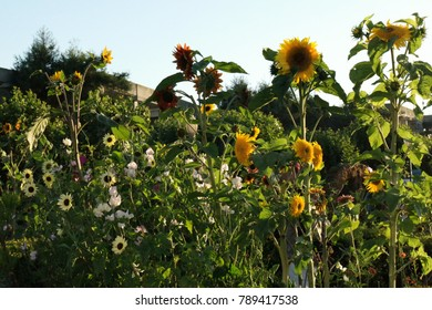 pretty sunflowers outside