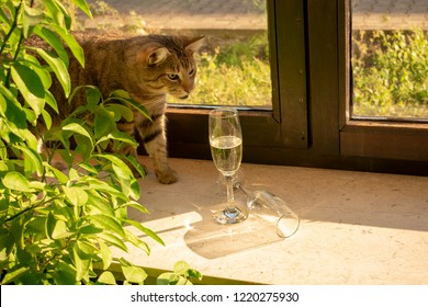 pretty tabby domestic cat is looking curiously for champagne glasses standing in the sun on the windowsill.Indoors