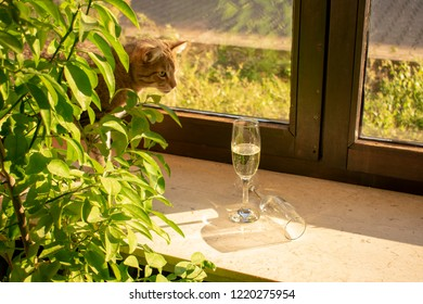 pretty tabby domestic cat looks curious, behind leaves out, after champagne glasses on the windowsill.