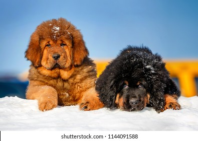 The Tibetan Mastiff Images, Stock Photos & Vectors