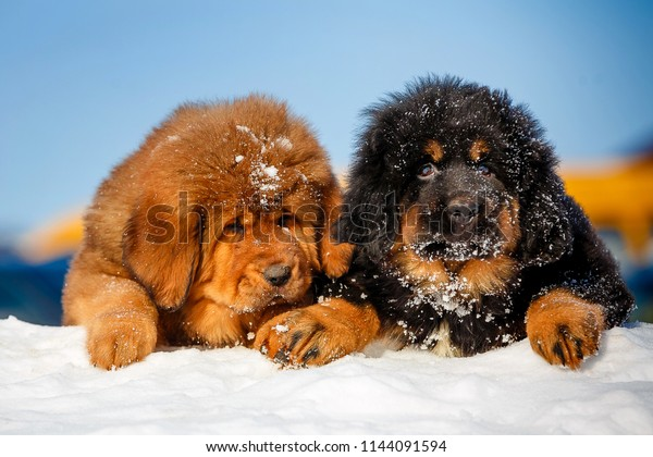 Pretty Tibetan Mastiff Puppies Open Air Stock Photo (Edit Now