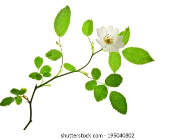 Pretty twig of blooming dog rose isolated on white