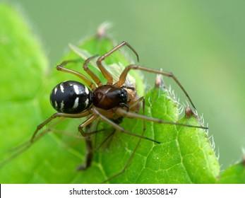 pretty, very tiny spider (family Linyphiidae) feeding on a non-biting midge (family Chironomidae). Boundary Bay salt marsh, Delta, British Columbia, Canada