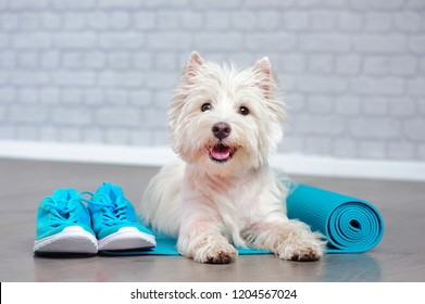 Pretty west highland terrier laying with yoga mat and sneakers