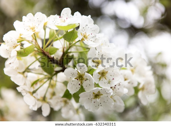 Pretty White Apple Blossoms on Tree