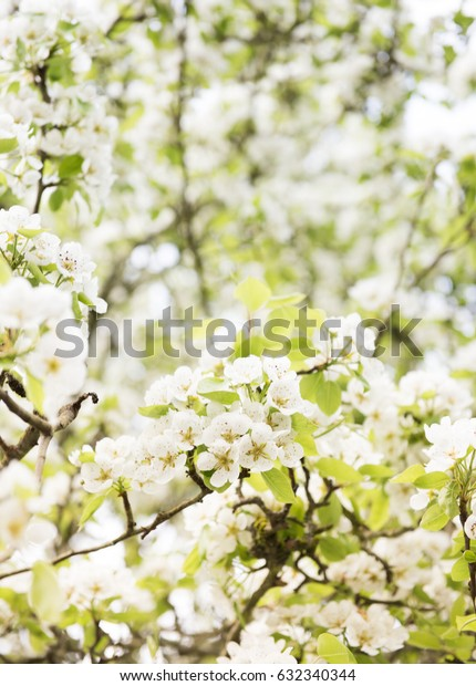 Pretty White Apple Blossoms on Tree