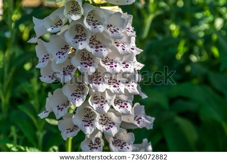 Pretty white bell shaped flower purple stock photo edit now pretty white bell shaped flower with purple speckles they are called foxgloves mightylinksfo