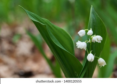 Pretty white bell shaped hanging flowers of Lily Of The Valley, highly poisonous plant, latin name Convallaria Majalis. Photographed during early May spring season.