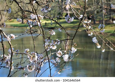 Pretty white cherry blossom flower blooming over the pond with reflection, Late winter in GA USA