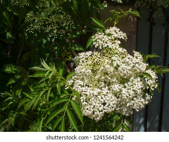 Pretty white flowers of decorative Elderberry plant  Sambucus  or 'Black Elderberry' a small deciduous shrub whose berries are used to make elderberry wine.