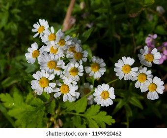Pretty white flowers of Tanacetum parthenium,  or  feverfew,  a traditional medicinal herb species of chrysanthemum  is also a companion plant containing pyrethrin to repel pests in gardens.