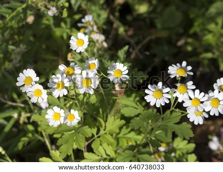 Pretty white flowers tanacetum parthenium feverfew stock photo edit pretty white flowers of tanacetum parthenium or feverfew a traditional medicinal herb species of mightylinksfo
