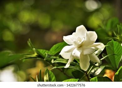 Pretty white gardenia flower (Gardenia jasminoides) blooming in the green garden background , Spring in GA USA.
