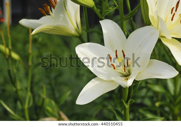 Pretty White Lilies in bloom