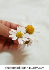 Pretty white siberian chrysanthemum in hands Image of a white background holding