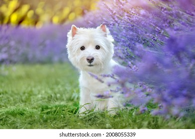 Pretty white westhighland terrier in the blooming lavender