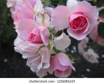 Pretty White-Pink Bonica Roses, September 2018