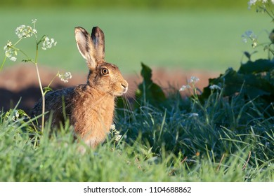Pretty wild hare close up sat on the edge of a field bathing in the morning sunrise, warming up with the heat of the sun.