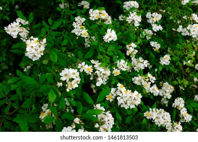 Pretty wild Multiflora Rose blooming along the Nakasendo trail in Kiso Valley, Japan in the summer. Also known as Seven-Sisters, Baby, Japanese and Rambler Rose.