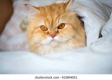 pretty yellow cat under blanket