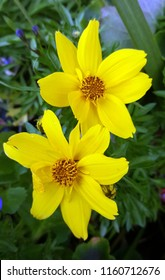 Pretty yellow coreopsis flowers with green leaves in the background.