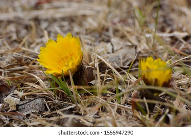 Pretty yellow flowers of Far east amur adonis (Adonis ramosa) in japanese early spring