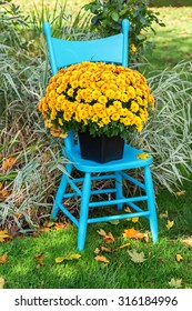 A pretty yellow garden mum on a turquoise blue chair in the home garden.