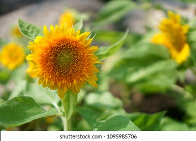 Pretty yellow petals of beautiful dwarf Sunflower on fresh green leaf under sun light morning