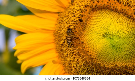 Pretty yellow petals of beautiful Sunflower and the bees are taking sweet nectar sugar from sweet pistil, closeup photo