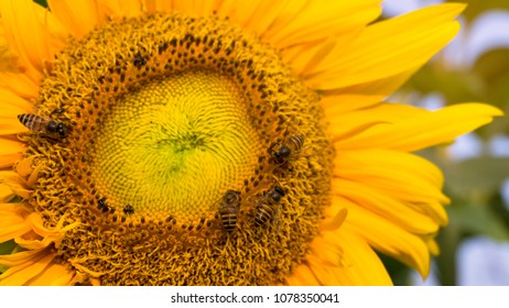 Pretty yellow petals cover around beautiful Sunflower and the bees are taking sweet nectar sugar from sweet pistil, closeup photo