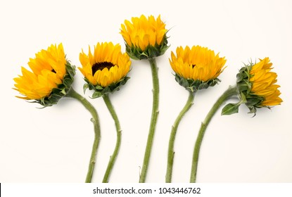 Pretty yellow sunflowers arranged on a white background.