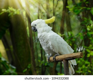 Pretty yellow-crested cockatoo (Cacatua sulphurea) posing in front of a camera. The yellow-crested cockatoo also known as the lesser sulphur-crested cockatoo.