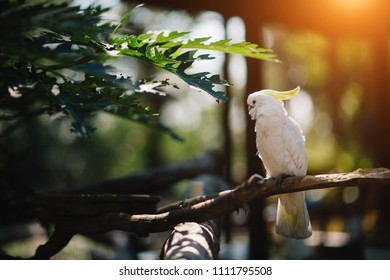 Pretty yellow-crested cockatoo (Cacatua sulphurea) posing a branch. The yellow-crested cockatoo also known as the lesser sulphur-crested cockatoo.