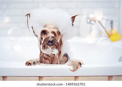 Pretty Yorkshire Terrier having bath with foam on head