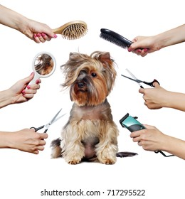 Pretty Yorkshire Terrier puppy  and hands with groomer tools isolated on white