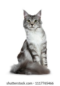 Pretty young adult black silver tabby Maine Coon cat sitting isolated on white background, looking at lens with big fluffy tail curled around paws