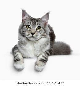 Pretty young adult black silver tabby Maine Coon cat laying down isolated on white background, looking at the lens with paws over edge