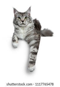 Pretty young adult black silver tabby Maine Coon cat laying / hanging on white background, looking at the lens with paws over edge