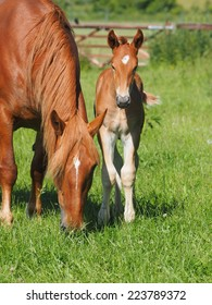 A pretty young foal in a paddock with its mother.