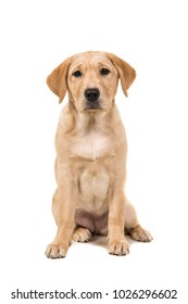 Pretty young labrador retreiver dog sitting looking at the camera isolated on a white background