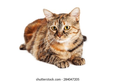 Pretty young orange and black striped Tortie bred cat laying down on a white background