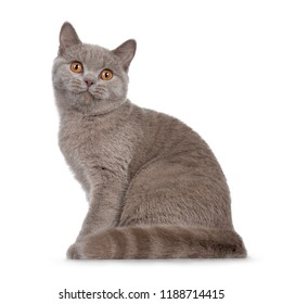 Pretty young solid cinnamon British Shorthair cat sitting side ways with tail beside body, looking beside lens with orange eyes, isolated on white background