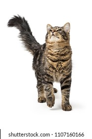 Pretty young tabby cat walking forward on white and looking up