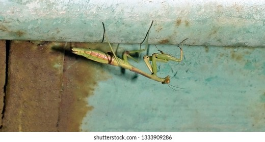 preying mantis clinging to a metal overhang