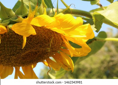 Preying Mantis on Summer Sunflower