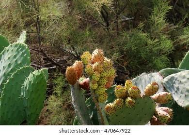 prickly cactus fruit
