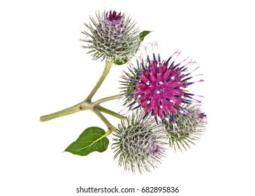 Prickly heads of burdock flowers on a white background