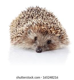 Prickly hedgehog. Ordinary hedgehog. Omnivore. Prickly animal.