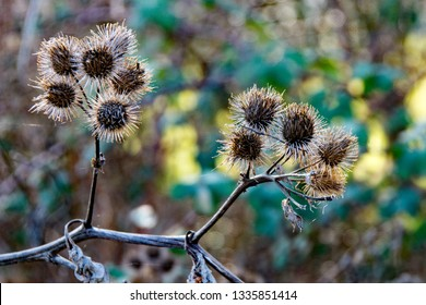 Burr Plant Images, Stock Photos & Vectors | Shutterstock